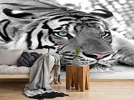 3D Фотообои  «Тигр черно-белые»