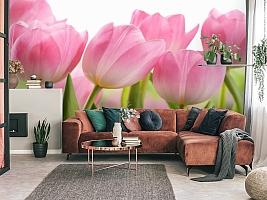 3D Фотообои «Крупные розовые тюльпаны» вид 3