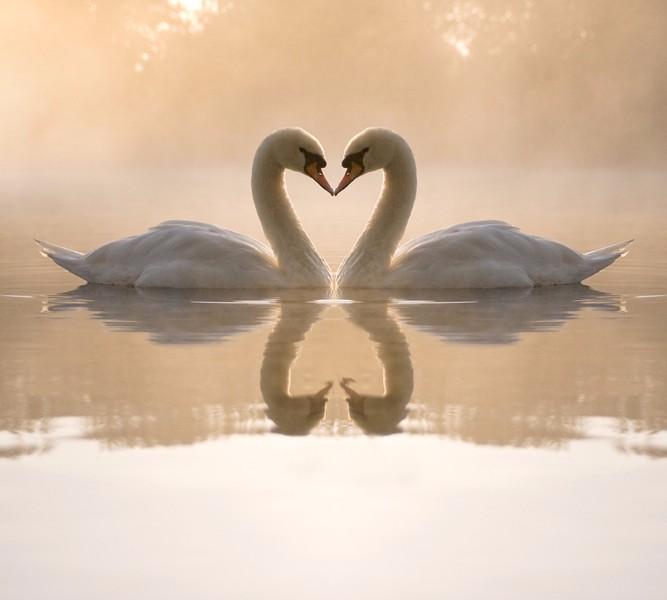 Фотошторы «Влюбленные лебеди» вид 1