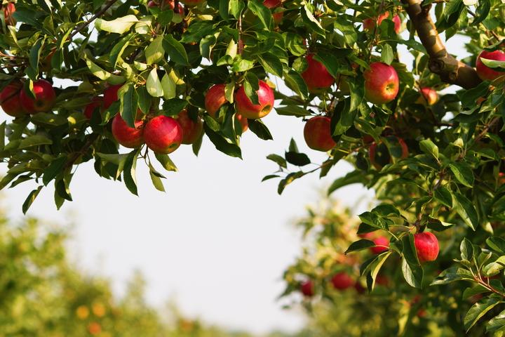 3D Фотообои 3D Фотообои  «Яблоки»