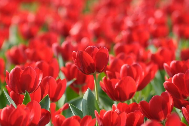 3D Фотообои 3D Фотообои  «Красные тюльпаны»