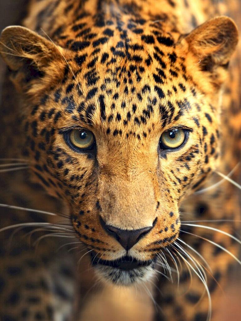 3D Фотообои «Леопард портрет»