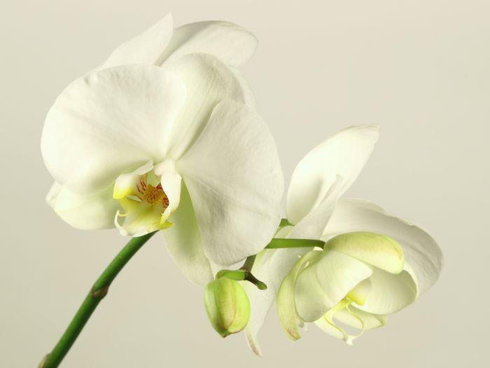 3D Фотообои «Бело-желтые орхидеи»