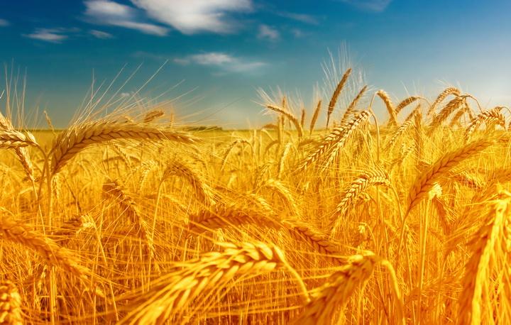 3D Фотообои 3D Фотообои  «Пшеница»