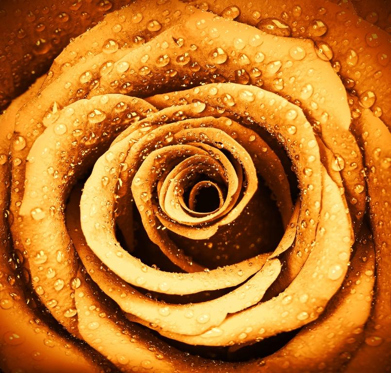 3D Фотообои 3D Фотообои  «Желтая роза с каплями»