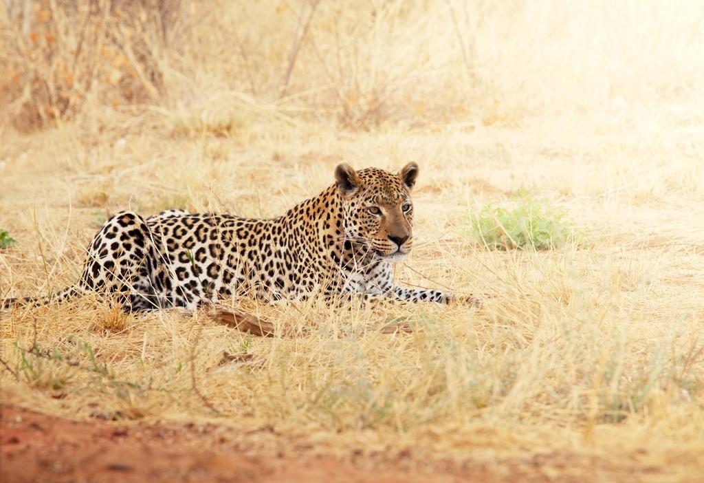 3D Фотообои «Леопард»