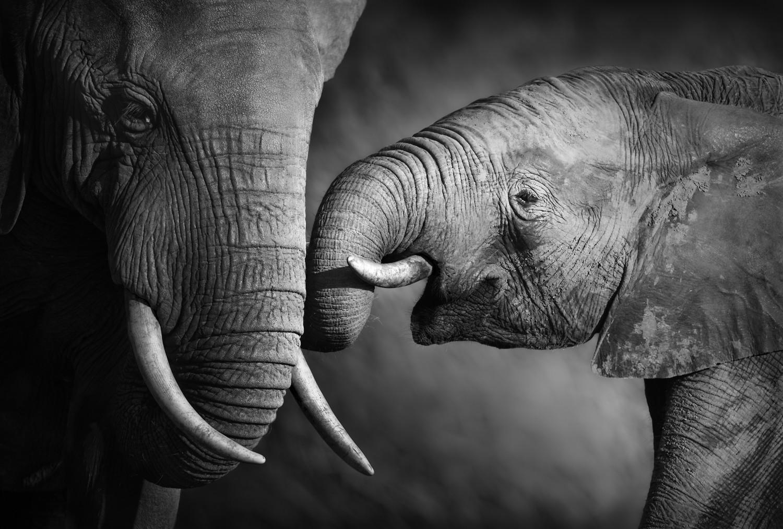 3D Фотообои «Слоны»