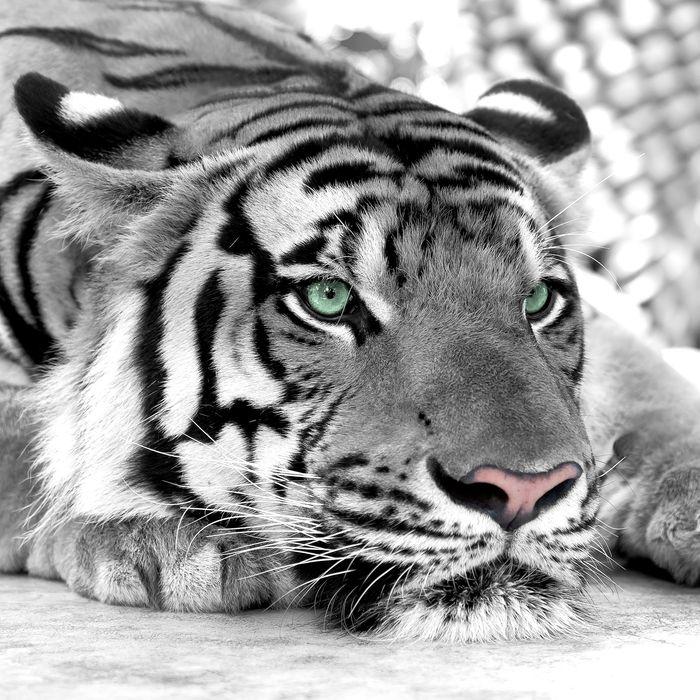 3D Фотообои 3D Фотообои  «Тигр черно-белые»
